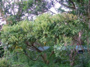 Cussonia zuluensis