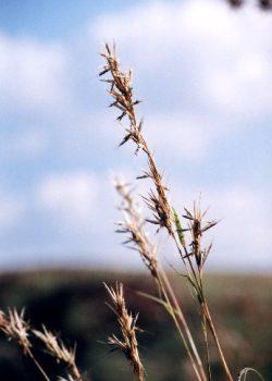 Cymbopogon excavatus