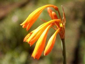 Cyrtanthus brachycyphus BULB