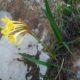 Cyrtanthus flanaganii