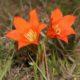 Cyrtanthus galpinii (10)