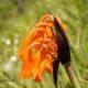Cyrtanthus huttonii  BULB