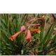 Cyrtanthus mackenii RED
