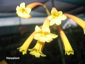 Cyrtanthus makenii  Yellow