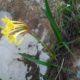 Cyrtanthus flanaganii BULB