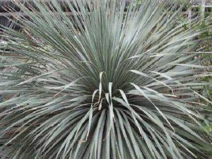 Dasylirion glaucophyllum (50)