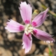 Dianthus bolusii (light pink)