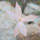Dianthus thunbergii