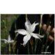 Dianthus mooiensis