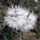 Dianthus turkestanicus