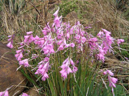 Dierama floriferum BULB