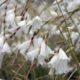 Dierama pendulina WHITE