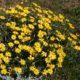 Dimorphotheca chrysanthemifolia