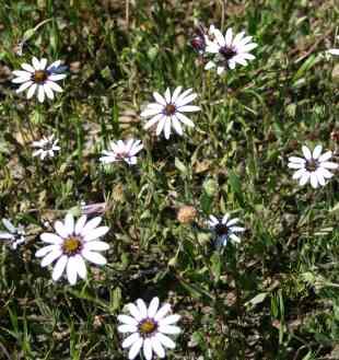 Dimorphotheca pluvialis (white)