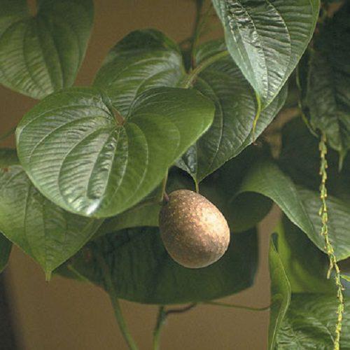 Dioscorea bulbifera PLANT