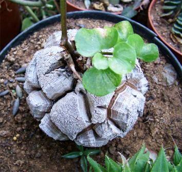 Testudinaria elephantipes 6cm PLANT