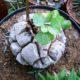 Testudinaria elephantipes 9cm PLANT