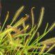 Drosera capensis narrow leaf