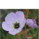 Drosera cistiflora mauve