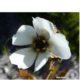 Drosera cistiflora white
