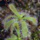 Drosera pauciflora