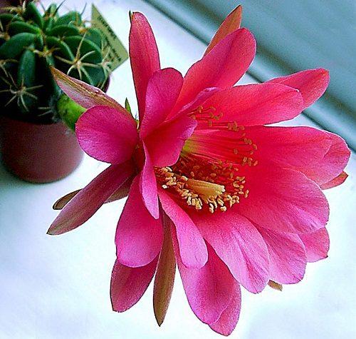 Echinopsis calliantholilacina