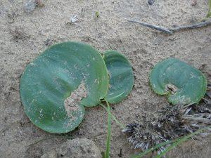 Eriospermum cooperii BULB