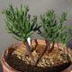 Eriospermum cervicorne (5)