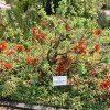 Erythrina acanthocarpa (1)