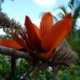 Erythrina madagascariensis