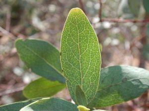 Euclea crispa