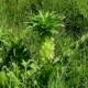 Eucomis autumnalis -Krugersdorp