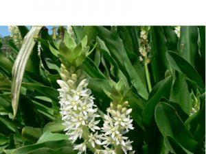 Eucomis zambesiaca (10)