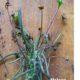 Euphorbia clava