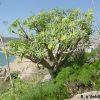 Euphorbia pedroi