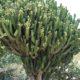 Euphorbia candelabrum (10)
