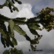 Euphorbia cussonoides (5)