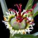 Euphorbia hallii