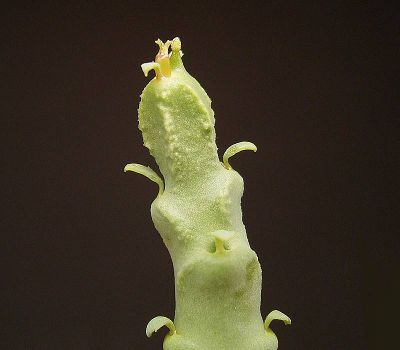 Euphorbia herrei