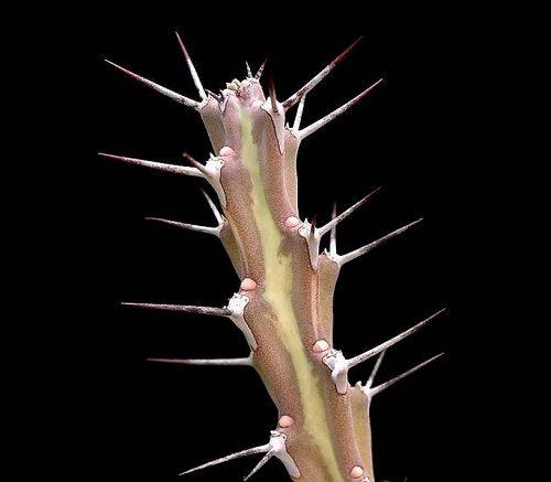 Euphorbia inaequispina