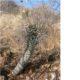 Euphorbia monteroi