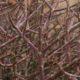 Euphorbia spinea