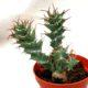 Euphorbia tortirama