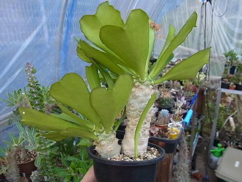Euphorbia venenifica