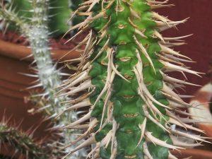 Euphorbia viguierii