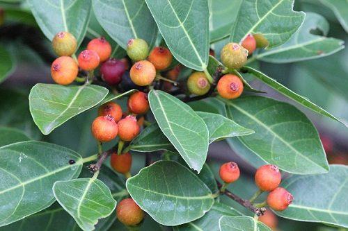 Ficus fraseri