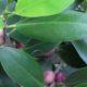Ficus microcarpa var hilli