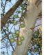 Ficus sur