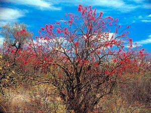 Fouquieria macdougallii