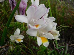 Freesia alba (10)
